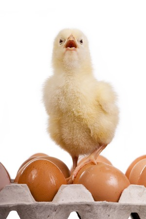 cried: Baby chick on colored eggs in egg carton