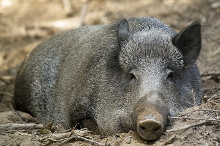 drowse: Picture of a female wild boar Stock Photo