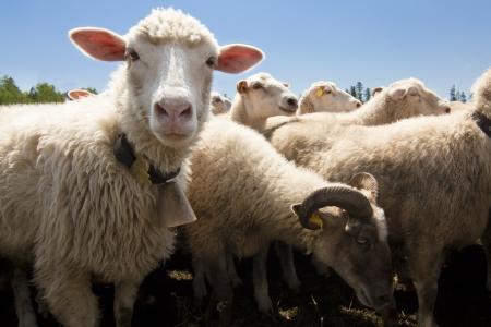 pecora: Allevamento di bestiame - gregge di pecore  Archivio Fotografico