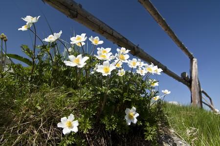 flowered: Narcissus -flowered anemone Anemone narcissiflora Stock Photo