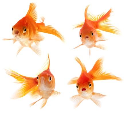 Set of goldfishes photo