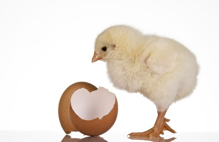 Chicken with eggshell Stock Photo - 7445233