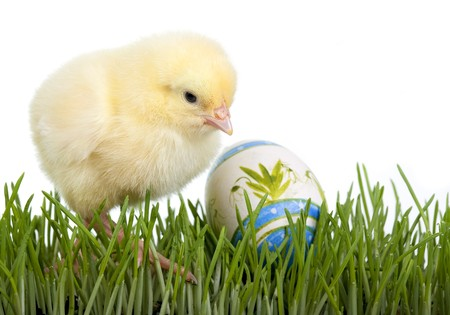 Chicken with painted egg in grass
