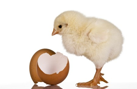 Chicken with eggshell Stock Photo - 7445249