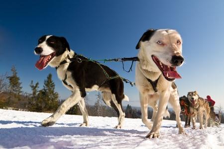 huskys: Moment caught on photos - dog sled