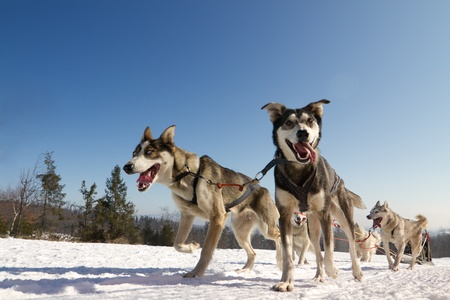dog sled: Moment caught on photos - dog sled
