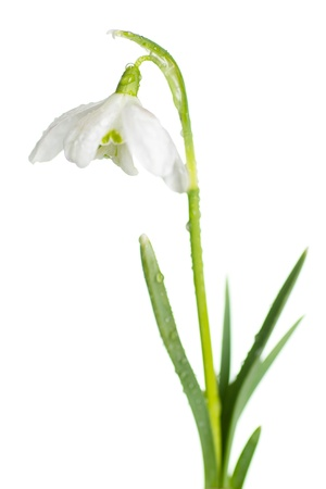 Snowdrop- spring white flower with white background