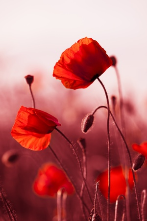 mák: Red poppies on spring meadow, red colored