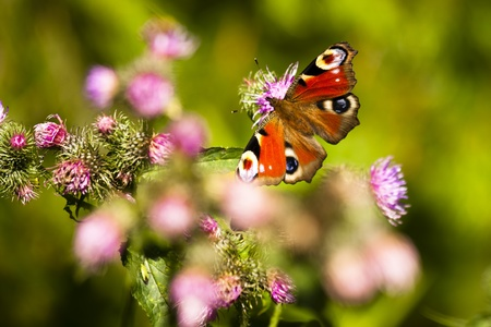 butterfly outdoor on flower (Inachis io) Stock Photo - 9135675