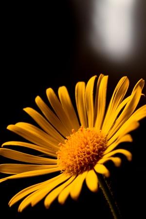 Arnica: Closeup photo of yellow arnica
