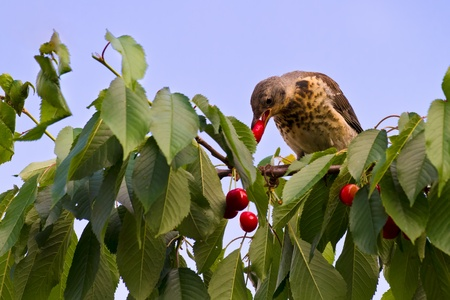 thrush: A thrush feeding on a cherry in summer Stock Photo