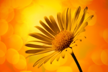 Closeup photo of yellow arnica photo