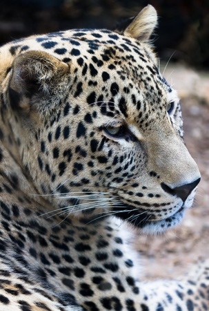 Persian Leopard. Latin name - Panthera pardus saxicolor photo