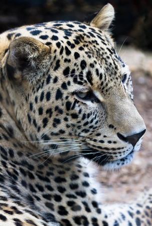 leopard head: Persian Leopard. Latin name - Panthera pardus saxicolor