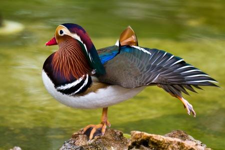 mandarin: Closeup male mandarin duck (Aix galericulata)