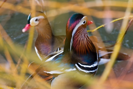 aix galericulata: Closeup male mandarin duck  Aix galericulata