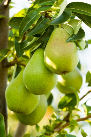 Closeup of a pears on a branch