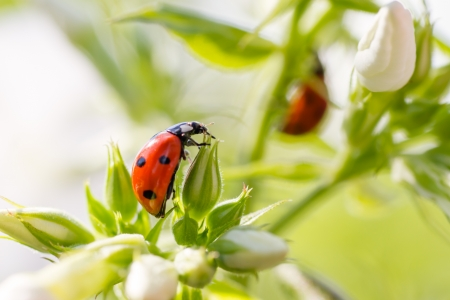 Ladybug resting on flower, early evening sunlight and bright colors photo