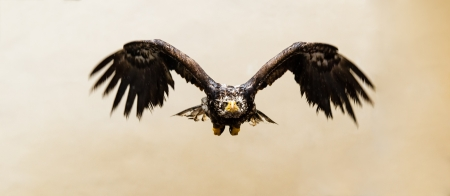 aquila: Steppe Eagle in flight in front view  Aquila nipalensis  Stock Photo