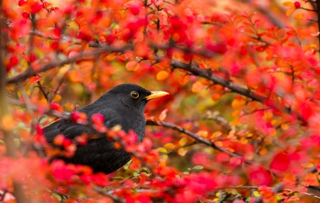 blackbird: Common Blackbird in color bush