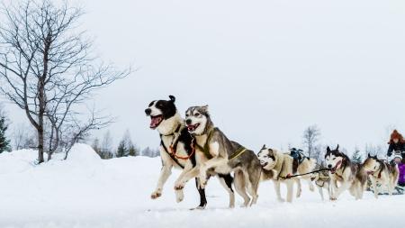 trineo: Primer plano de un equipo de perros de trineo en la acción,