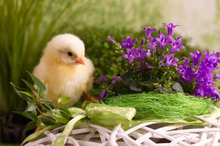 Beautiful little chicken on green background photo