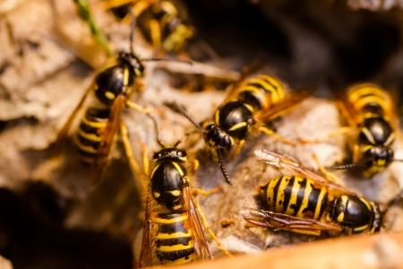 Wasp in the nest Standard-Bild