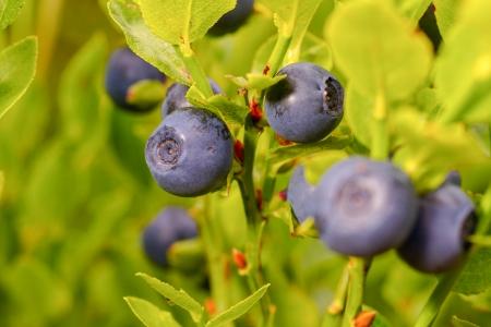 Ripe blueberry in the garden photo