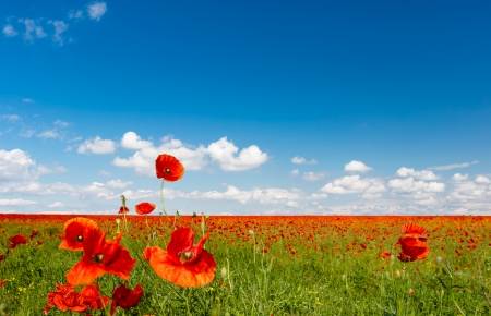 nice weather: Red poppies on spring meadow,