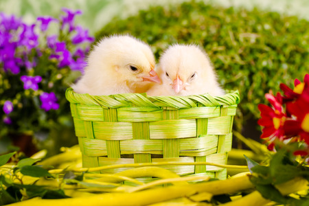 snuggle: Beautiful little chickens Stock Photo
