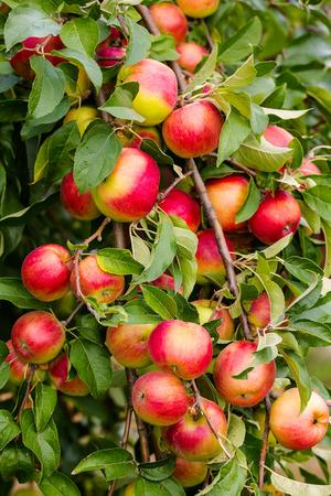 arbol de manzanas: Manzana roja en la rama con hojas verdes Foto de archivo