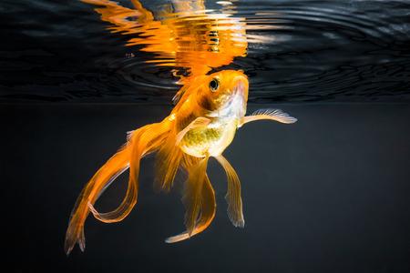 黒い背景に金魚 写真素材