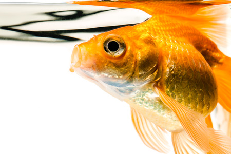Goldfish on a white background photo