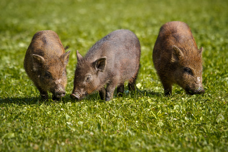 piglets: piglets feeding in the grass Stock Photo