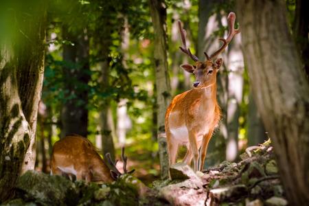 fallow deer: Fallow Deer - Dama dama, Male (Buck)