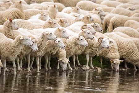 Livestock farm - herd of sheep