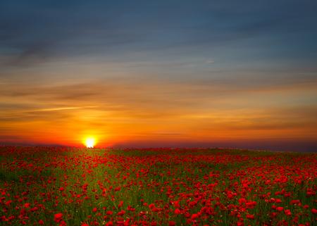 fiori di campo: Bellissimo paesaggio campo di papaveri durante il tramonto con cielo drammatico