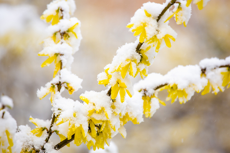 Yellow forsythia blossom in spring covered by snow.