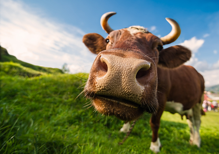 blue widescreen widescreen: A curious brown cow against a blue sky backdrop