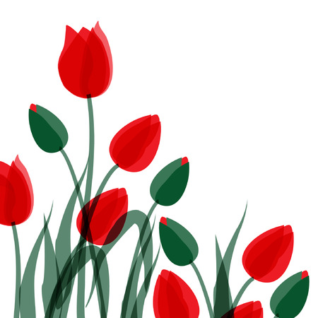 isolated over white: Red tulips isolated over white