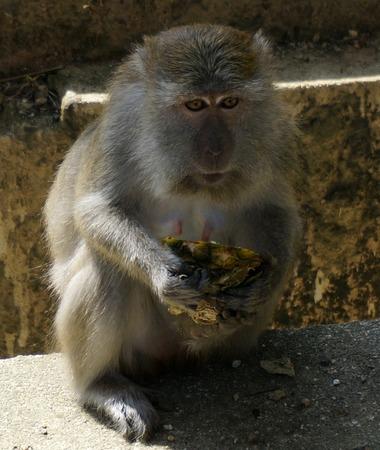 obscene: Macaque monkey also known as Rhesus Monkey.