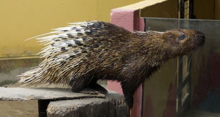 brush tailed: Nocturnal animals Malayan porcupine Hystrix brachyura front view. Stock Photo