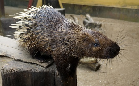 nocturnal: Nocturnal animals Malayan porcupine Hystrix brachyura front view. Stock Photo