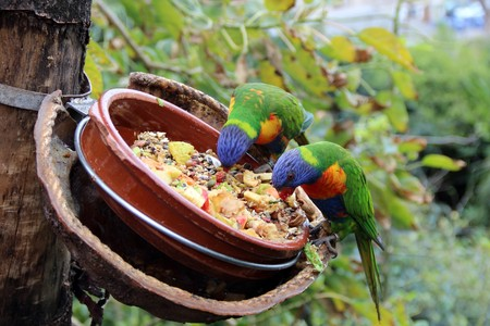 feeders: Large Bright Parrots eat from feeders feed.