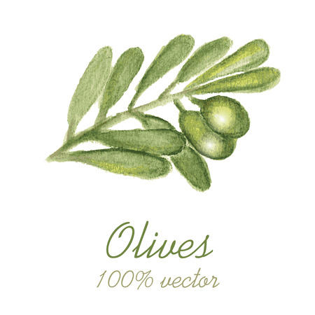 olive green: Watercolor painted olive tree branch. Vector illustration.
