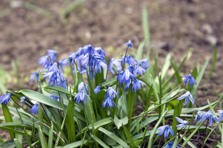 bluebell: Beautiful flowers bluebell or Scylla grow in the meadow. Stock Photo