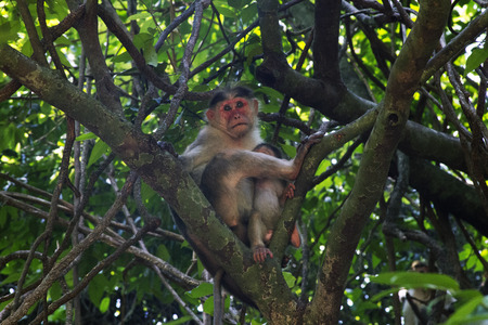 happening: Portrait of a young Macaque closely tracking the order what is happening around. India Goa.