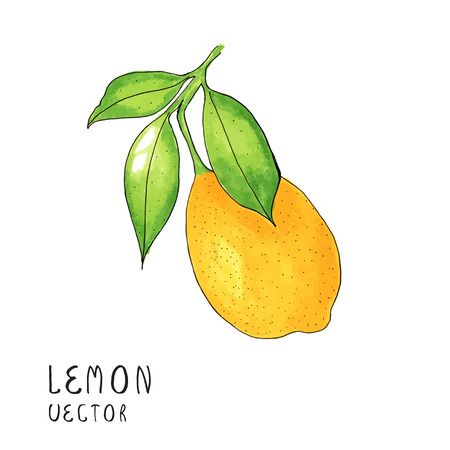 Lemon tree branch, watercolor painting on white background, vector illustration.