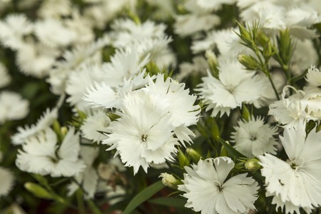 White carnation flowers on a small flower market stock photo stock photo white carnation flowers on a small flower market mightylinksfo