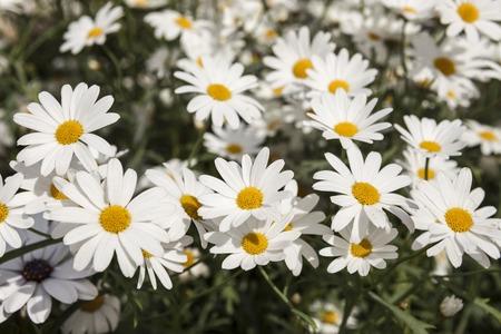 white daisies: White daisies on a field. Stock Photo
